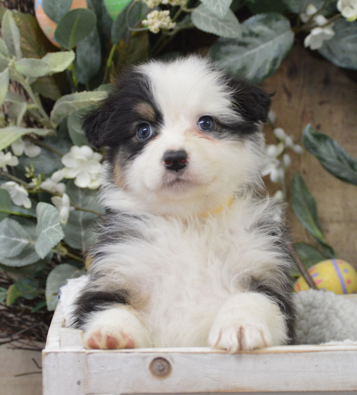 Available AKC Australian Shepherd Puppies for sale by Kaigan